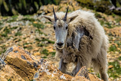 Mountain Goat Climbing Up Stock Photos
