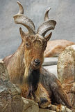 Mountain Goat Royalty Free Stock Photography