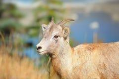 Mountain goat. Close up shot of mountain goat stock photo
