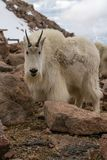 Mountain Goat in Colorado stock photo