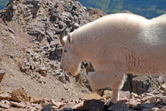 Mountain Goat, Colorado Stock Images