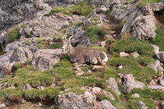 Mountain Goat in Colorado. A mountain goat rests at the top of Broken Hand Pass in the Colorado mountains Stock Photos