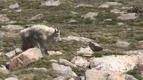 Mountain Goat in Colorado. A mountain goat on a rock in the Colorado high country stock footage