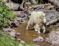 Mountain Goat Crossing Stream Stock Image