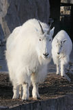 Mountain goat  with cute baby goat cub Stock Image