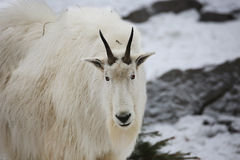 Mountain goat Stock Images