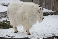 Mountain goat. She deftly climbs on the cliffs of the rocky mountains Stock Photography
