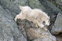 Mountain Goat descending Harney Peak in Custer State Park in the Black Hills. Of South Dakota USA Stock Photo