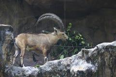 Mountain Goat eating grass. Mountain Goat in Singapore Zoo Stock Photos
