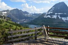 Mountain goat enjoying the view at an overlook of Glacier National Park in Montana. Stock Photos