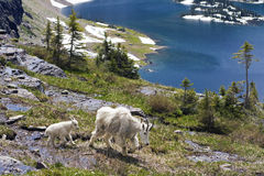 Mountain Goat Family Stock Photo