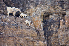 Mountain Goat Family on Cliff, Montana. A female mountain goat with two babies on a rock mountain in Glacier National Park, Montana Royalty Free Stock Photo