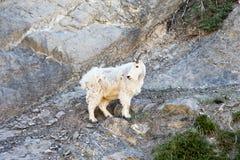 Mountain Goat, Fauna, Goats, Wildlife stock photo