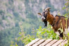 Mountain Goat in the Fieschertal Valais, Switzerland. Near the village of Bellwald stock images