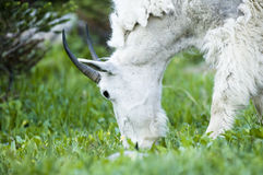 Mountain Goat foraging. A nanny mountain goat foraging near Logan Pass in Glacier National Park Stock Image
