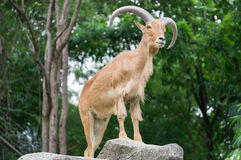 Mountain Goat in forest , male Stock Photography