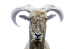 Mountain goat front view. With white background Stock Photo