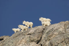 Mountain Goat Gang Royalty Free Stock Images