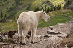 Mountain Goat at Glacier National Park Stock Images