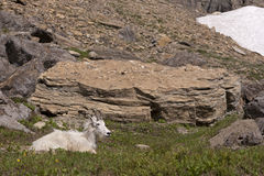 Mountain Goat in Glacier National Park Royalty Free Stock Photography