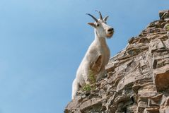 Mountain Goat in Glacier National Park royalty free stock image