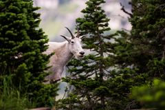 Mountain Goat peeking from behind trees royalty free stock image