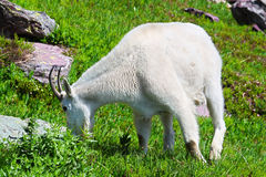 Mountain Goat Glacier National Park Royalty Free Stock Photography