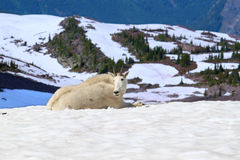 Mountain Goat Glacier National Park. Mountain Goat (Oreamnos americanus) at Sperry Glacier in Glacier National Park - Montana stock image