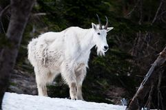 Mountain goat at Glacier National Park Royalty Free Stock Photography