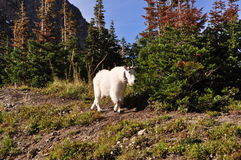 Mountain Goat in Glacier National Park. Mountain goat on trail in Glacier National Park Stock Image