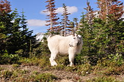Mountain Goat in Glacier National Park. Mountain goat on trail in Glacier National Park Stock Photos