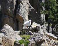 Mountain Goat Glory. Mountain Goat coming down the rock cliffs Royalty Free Stock Image
