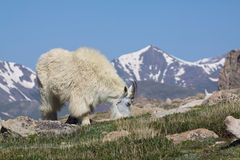 Mountain Goat Grazing Royalty Free Stock Image