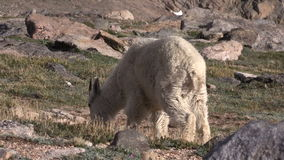 Mountain Goat Grazing. A mountain goat grazing in the Colorado high country stock footage