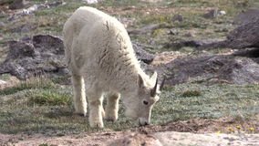 Mountain Goat Grazing. A mountain goat grazing in the rugged Colorado high country stock footage