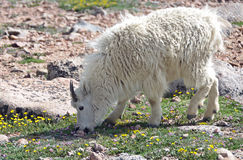 Mountain goat grazing. A mountain goat grazing on the slopes of Mt. Evans, located in the Arapaho National Forest in the Rocky Mountains of Colorado Stock Photo