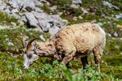 Mountain Goat Grazing on Parker Ridge in Canadian Rockies. A mountain goat grazing on the summit of Parker Ridge in Jasper National Park in the Canadian Rockies stock photos
