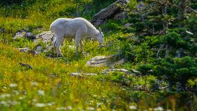 A mountain goat in green alpine meadow with grass and flowers stock photography