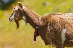 Mountain Goat on the Green Grass Stock Photos