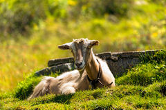 Mountain Goat on the Green Grass Stock Photography