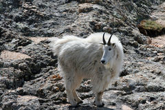 Mountain Goat on Harney Peak Royalty Free Stock Photos