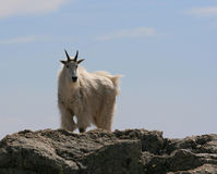 Mountain Goat on Harney Peak overlooking the Black Hills of South Dakota USA Stock Photo