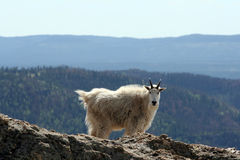 Mountain Goat on Harney Peak overlooking the Black Hills of South Dakota USA Royalty Free Stock Photo