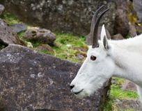 Mountain Goat Head Royalty Free Stock Photos