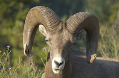 Mountain goat head detail. Alberta. Canada Royalty Free Stock Photography