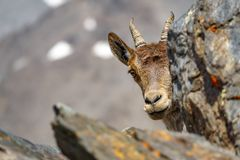 Mountain goat head hidden on the top of Mulhacen peak. Mountain goat head shy hidden behind the rocks on top of Mulhacen peak stock photography