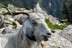 Mountain goat. A mountain goat hearded by a bakarwal on top of triund Stock Photos
