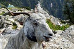 Mountain goat Stock Photos