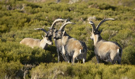 Mountain goat herd in the countryside Stock Images