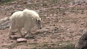 Mountain Goat in the High Alpine. A mountain goat in the high country stock video
